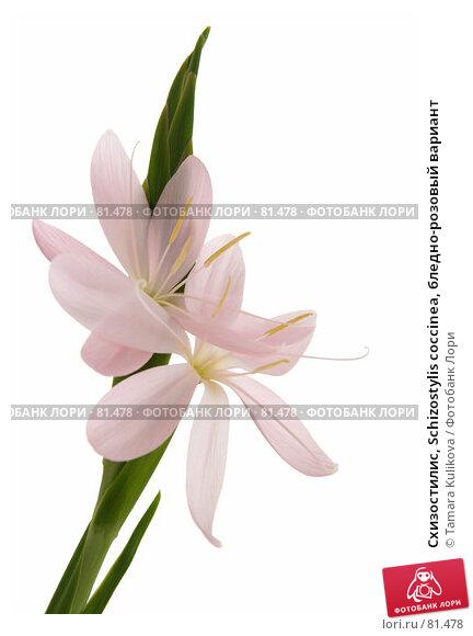 Схизостилис, Schizostylis coccinea, бледно-розовый вариант, фото № 81478, снято 8 сентября 2007 г. (c) Tamara Kulikova / Фотобанк Лори