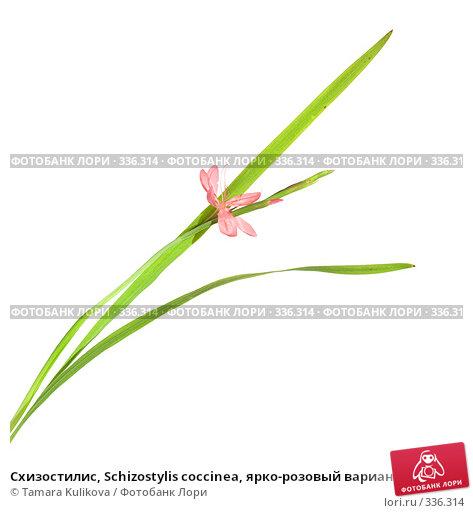 Схизостилис, Schizostylis coccinea, ярко-розовый вариант, фото № 336314, снято 27 июня 2008 г. (c) Tamara Kulikova / Фотобанк Лори