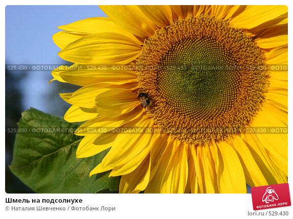 Купить «Шмель на подсолнухе», фото № 529430, снято 23 июня 2004 г. (c) Наталия Шевченко / Фотобанк Лори
