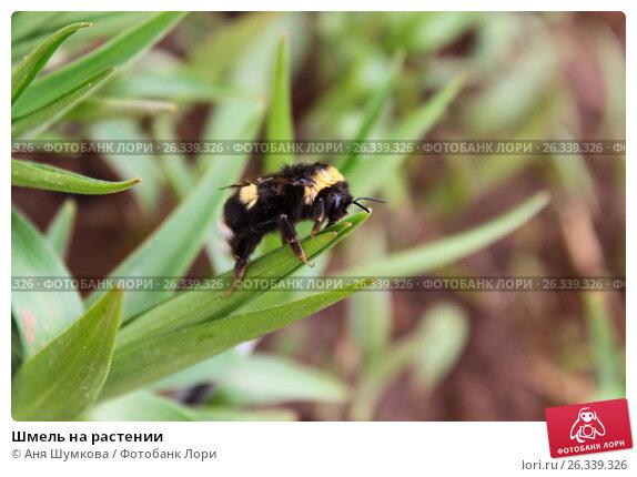 Шмель на растении. Стоковое фото, фотограф Аня Шумкова / Фотобанк Лори