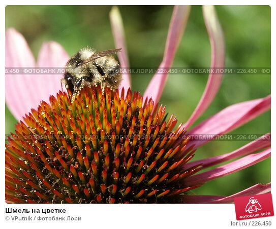 Купить «Шмель на цветке», фото № 226450, снято 29 августа 2006 г. (c) VPutnik / Фотобанк Лори