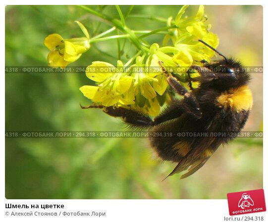 Шмель на цветке, фото № 294318, снято 25 июня 2006 г. (c) Алексей Стоянов / Фотобанк Лори