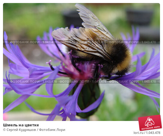 Шмель на цветке. Стоковое фото, фотограф Сергей Кудряшов / Фотобанк Лори