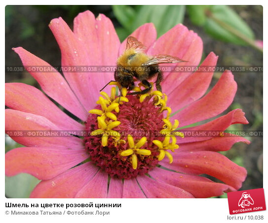 Шмель на цветке розовой циннии, фото № 10038, снято 9 сентября 2006 г. (c) Минакова Татьяна / Фотобанк Лори