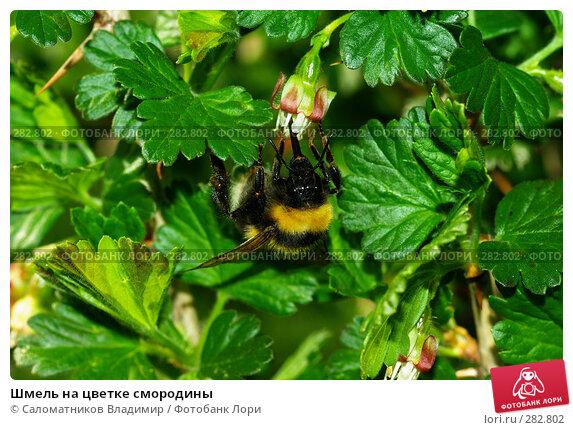 Шмель на цветке смородины, фото № 282802, снято 2 мая 2008 г. (c) Саломатников Владимир / Фотобанк Лори