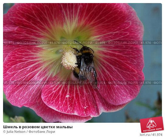 Шмель в розовом цветке мальвы, фото № 41974, снято 21 июля 2004 г. (c) Julia Nelson / Фотобанк Лори