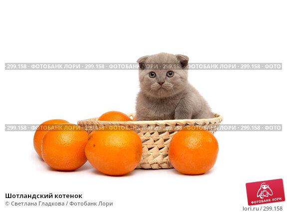 Купить «Шотландский котенок», фото № 299158, снято 12 апреля 2008 г. (c) Cветлана Гладкова / Фотобанк Лори