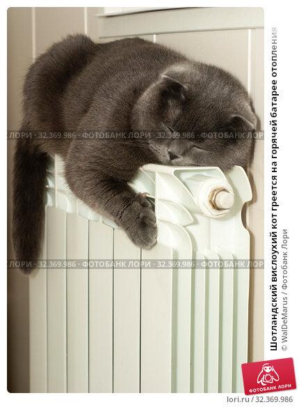 Шотландский вислоухий кот греется на горячей батарее отопления. Стоковое фото, фотограф WalDeMarus / Фотобанк Лори