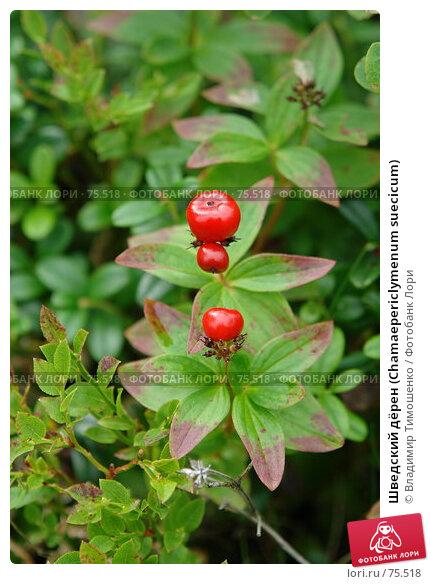 Шведский дёрен (Chamaepericlymenum suecicum), фото № 75518, снято 23 августа 2007 г. (c) Владимир Тимошенко / Фотобанк Лори