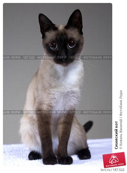 Сиамский кот, фото № 187522, снято 24 декабря 2007 г. (c) Коваль Василий / Фотобанк Лори