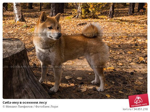 Сиба-ину в осеннем лесу. Стоковое фото, фотограф Михаил Панфилов / Фотобанк Лори