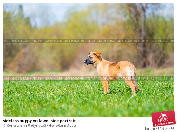 sideless puppy on lawn, side portrait. Стоковое фото, фотограф Константин Лабунский / Фотобанк Лори