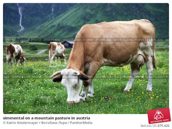 simmental on a mountain pasture in austria. Стоковое фото, фотограф Katrin Niedermayer / PantherMedia / Фотобанк Лори