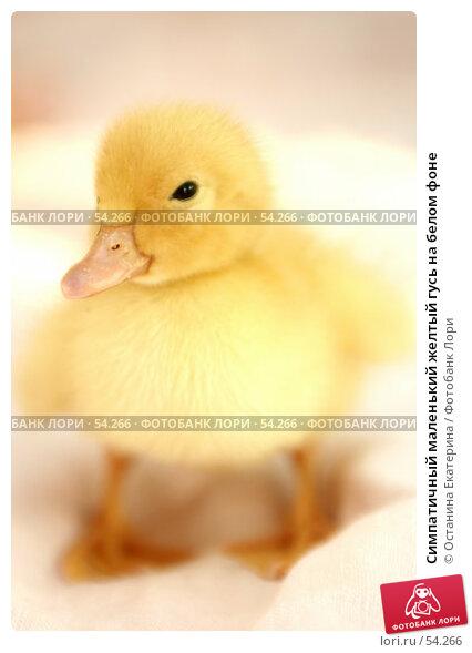 Симпатичный маленький желтый гусь на белом фоне, фото № 54266, снято 22 мая 2007 г. (c) Останина Екатерина / Фотобанк Лори