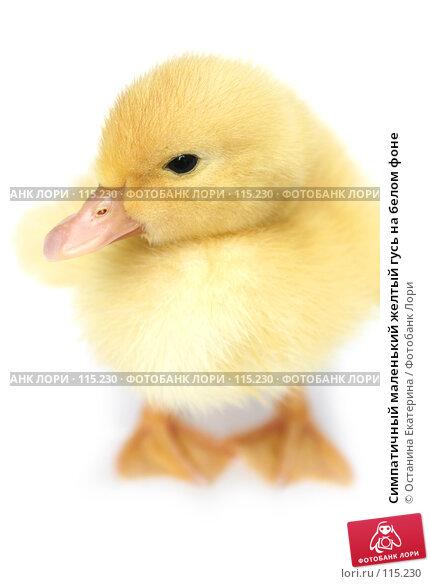 Симпатичный маленький желтый гусь на белом фоне, фото № 115230, снято 23 мая 2007 г. (c) Останина Екатерина / Фотобанк Лори