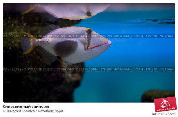 Синеспинный спинорог, фото № 175598, снято 3 января 2008 г. (c) Тимофей Косачев / Фотобанк Лори