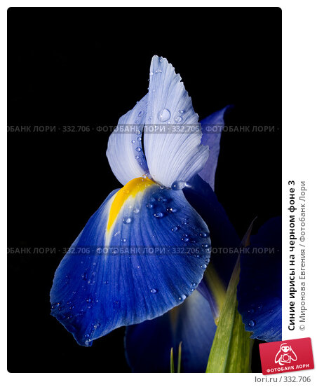 Синие ирисы на черном фоне 3, фото № 332706, снято 2 мая 2008 г. (c) Миронова Евгения / Фотобанк Лори