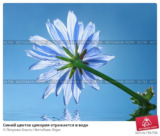 Синий цветок цикория отражается в воде, фото № 54734, снято 22 июня 2007 г. (c) Петрова Ольга / Фотобанк Лори