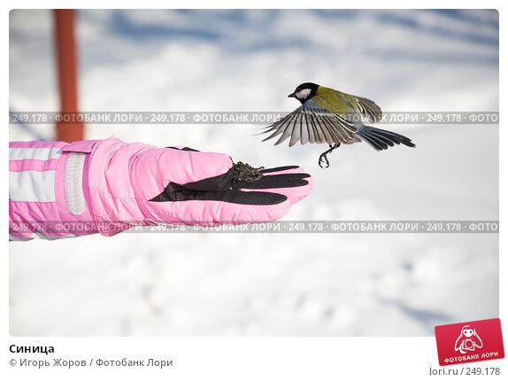 Купить «Синица», фото № 249178, снято 13 февраля 2008 г. (c) Игорь Жоров / Фотобанк Лори
