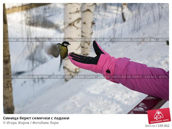 Синица берет семечки с ладони, фото № 239962, снято 12 февраля 2008 г. (c) Игорь Жоров / Фотобанк Лори