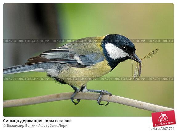 Синица держащая корм в клюве, фото № 207794, снято 5 июня 2005 г. (c) Владимир Воякин / Фотобанк Лори