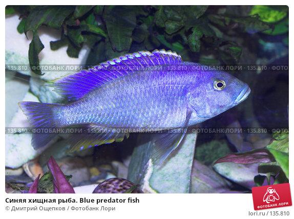 Синяя хищная рыба. Blue predator fish, фото № 135810, снято 17 декабря 2006 г. (c) Дмитрий Ощепков / Фотобанк Лори