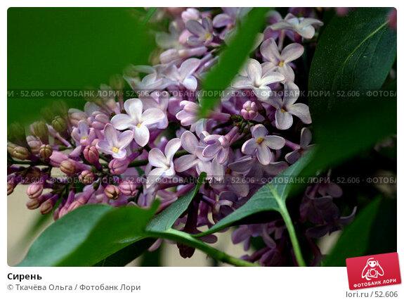 Сирень, фото № 52606, снято 19 мая 2007 г. (c) Ткачёва Ольга / Фотобанк Лори