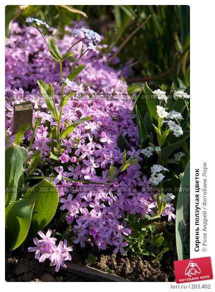 Сирень ползучая цветок, фото № 203402, снято 19 мая 2007 г. (c) Розе Андрей / Фотобанк Лори