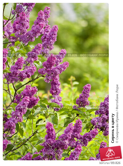 Сирень в цвету, фото № 89826, снято 27 мая 2007 г. (c) Смирнова Ирина / Фотобанк Лори