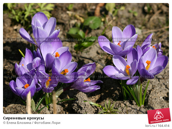 Сиреневые крокусы, фото № 164414, снято 29 марта 2007 г. (c) Елена Блохина / Фотобанк Лори
