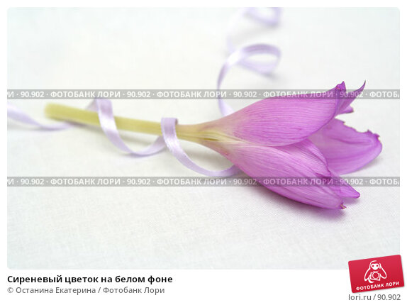 Сиреневый цветок на белом фоне, фото № 90902, снято 17 сентября 2007 г. (c) Останина Екатерина / Фотобанк Лори