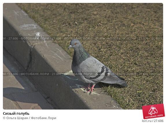 Сизый голубь, фото № 27606, снято 24 марта 2007 г. (c) Ольга Шаран / Фотобанк Лори