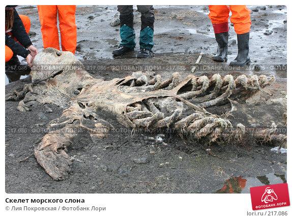 Купить «Скелет морского слона», фото № 217086, снято 15 января 2008 г. (c) Лия Покровская / Фотобанк Лори
