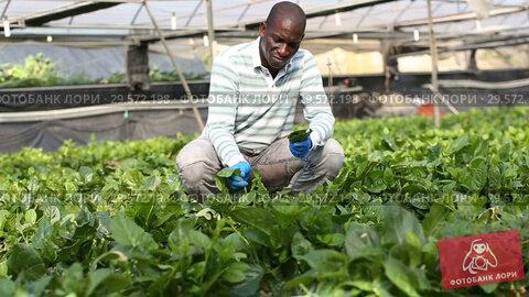Купить «Skilled male farmer checking seedlings of Malabar spinach in hothouse», видеоролик № 29572198, снято 18 сентября 2018 г. (c) Яков Филимонов / Фотобанк Лори
