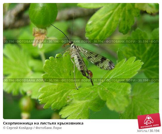 Купить «Скорпионница на листьях крыжовника», фото № 30194, снято 4 июня 2006 г. (c) Сергей Ксейдор / Фотобанк Лори