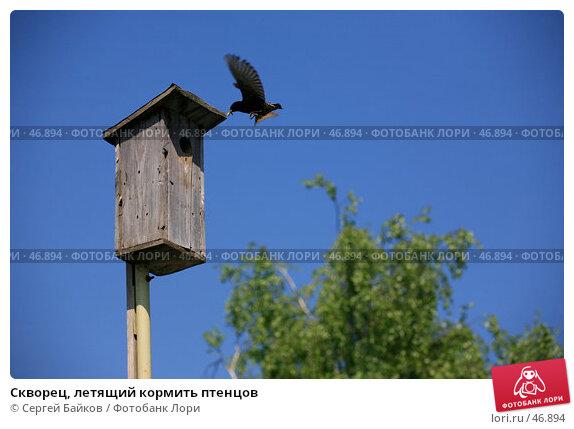 Скворец, летящий кормить птенцов, фото № 46894, снято 20 мая 2007 г. (c) Сергей Байков / Фотобанк Лори