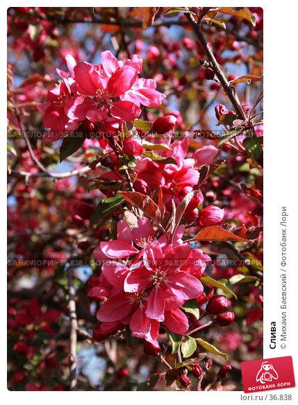 Слива, фото № 36838, снято 29 апреля 2007 г. (c) Михаил Баевский / Фотобанк Лори