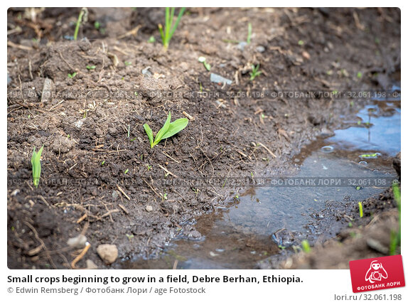 Small crops beginning to grow in a field, Debre Berhan, Ethiopia. Стоковое фото, фотограф Edwin Remsberg / age Fotostock / Фотобанк Лори
