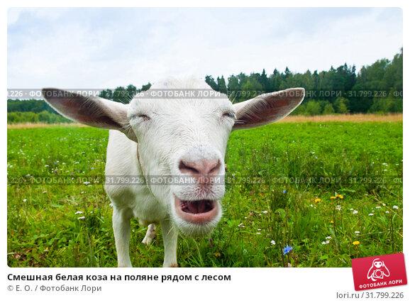 Купить «Смешная белая коза на поляне рядом с лесом», фото № 31799226, снято 23 июля 2019 г. (c) Екатерина Овсянникова / Фотобанк Лори