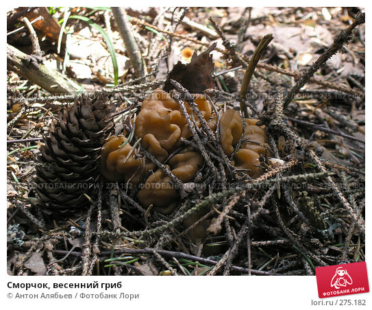 Сморчок, весенний гриб, фото № 275182, снято 2 мая 2008 г. (c) Антон Алябьев / Фотобанк Лори