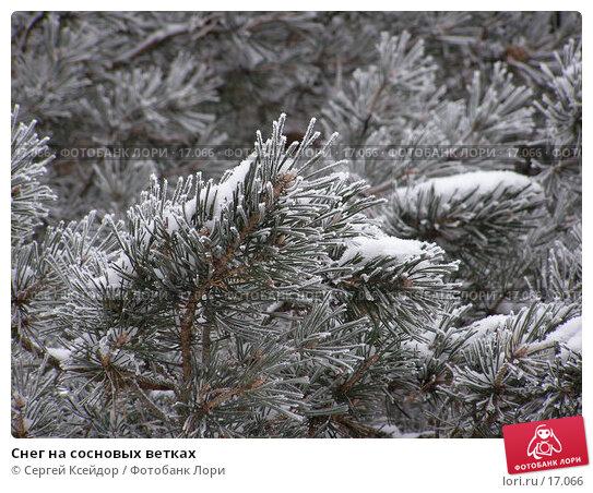 Купить «Снег на сосновых ветках», фото № 17066, снято 25 января 2007 г. (c) Сергей Ксейдор / Фотобанк Лори