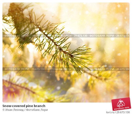 Купить «Snow-covered pine branch», фото № 29673130, снято 16 ноября 2018 г. (c) Икан Леонид / Фотобанк Лори