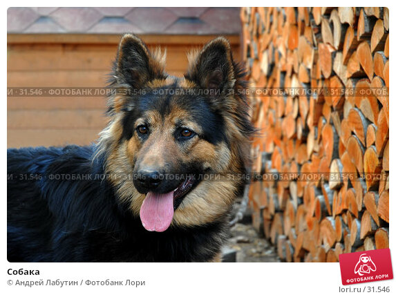 Собака, фото № 31546, снято 6 апреля 2007 г. (c) Андрей Лабутин / Фотобанк Лори
