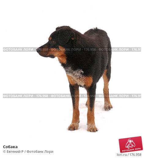 Собака, фото № 176958, снято 13 декабря 2007 г. (c) Евгений Р / Фотобанк Лори