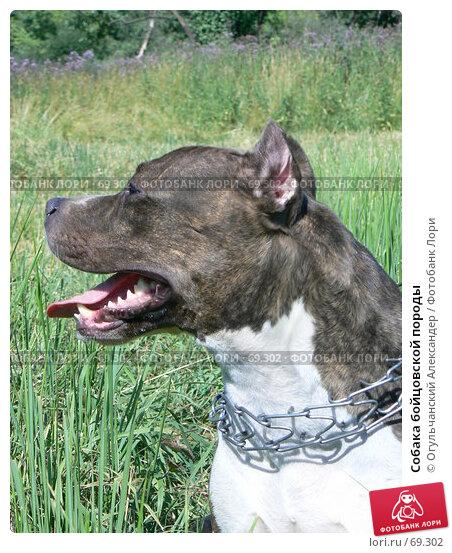 Собака бойцовской породы, фото № 69302, снято 11 июля 2007 г. (c) Огульчанский Александер / Фотобанк Лори