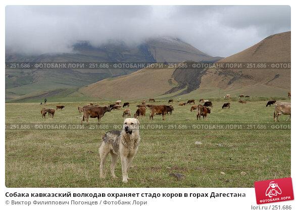 Собака кавказский волкодав охраняет стадо коров в горах Дагестана, фото № 251686, снято 15 мая 2007 г. (c) Виктор Филиппович Погонцев / Фотобанк Лори