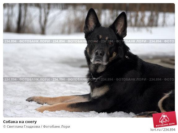 Собака на снегу, фото № 234894, снято 3 декабря 2016 г. (c) Cветлана Гладкова / Фотобанк Лори