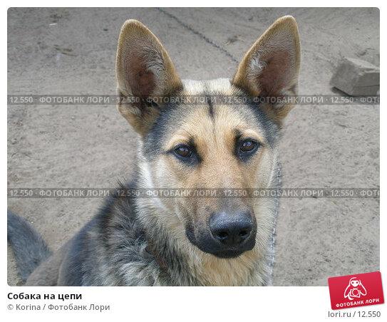 Собака на цепи, фото № 12550, снято 2 июня 2006 г. (c) Korina / Фотобанк Лори