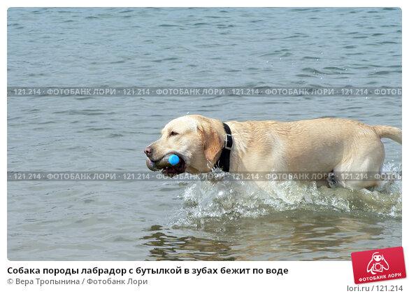 Собака породы лабрадор с бутылкой в зубах бежит по воде, фото № 121214, снято 3 декабря 2016 г. (c) Вера Тропынина / Фотобанк Лори