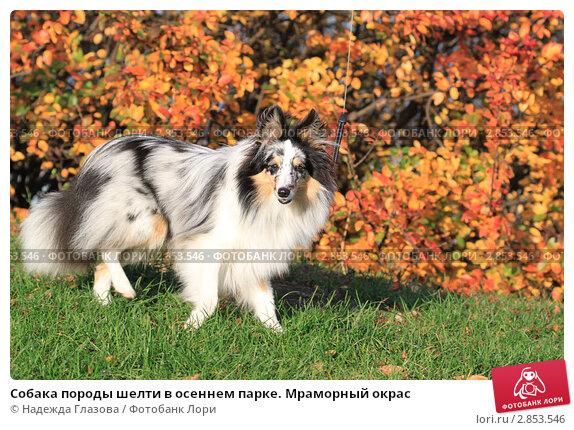 Купить «Собака породы шелти в осеннем парке. Мраморный окрас», фото № 2853546, снято 8 октября 2011 г. (c) Надежда Глазова / Фотобанк Лори